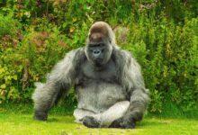 Photo of Gorila varovala návštěvníky pomocí ASL